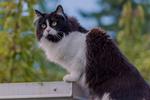 Обои Черно-белая кошка на фоне природы, by Mandy Jurgens