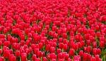 Обои Множество красных тюльпанов