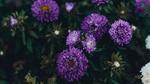 Обои Сиреневые хризантемы на размытом фоне