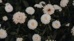 Обои Белые хризантемы на размытом фоне