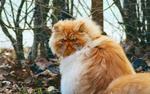 Обои Рыжий пушистый персидский кот сидит на осенней листве