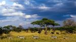 Обои Зебры и слоны идут по саванне ясным днем, фотограф Arif Alakbar