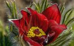 Обои Красный цветок сон-трава
