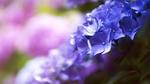 Обои Сиреневые цветы гортензии на фоне боке