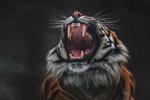 Обои Рычащий тигр на размытом фоне