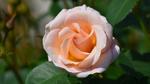 Обои Красивая роза с листочками