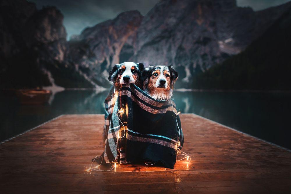 Обои для рабочего стола Две австралийский овчарки, укутанные в плед, украшенной светящийся гирляндой, сидят на деревянных мостках перед озером, фотограф Kristyna Kvapilova