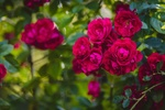 Обои Розовые розы на кусте