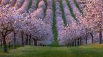 Обои Ряды цветущих розовых деревьев на зеленом поле, фотограф Marek Biegalski