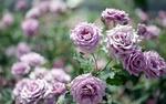Обои Куст сиреневых роз