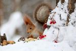 Обои Белочка на снегу, by Galina Jacyna