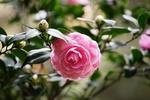 Обои Красивая розовая камелия в зеленой листве
