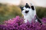 Обои Котик поднял лапку вверх, сидя среди цветов вереска