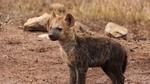 Обои Маленькая пятнистая гиена куда-то смотрит