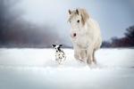 Обои Далматин и белый пони бегут по снегу, фотограф Кикоть Екатерина
