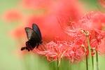 Обои Черная бабочка сидит на ликорисе