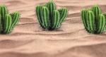 Обои Кактусы посреди песка