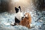 Обои Бордер-колли и спаниель на природе зимой, фотограф Кикоть Екатерина