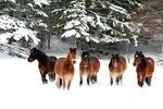Обои Лошади на снегу, by Svetlana Povarova Ree
