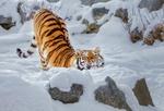 Обои Амурская тигрица нежится на снегу, фотограф Олег Богданов