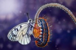 Обои Бабочка и гусеница на цветке, by Mustafa Ozturk