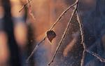 Обои Ветка с листочком покрыта инеем