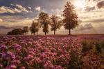 Обои Деревья у цветущего поля под облачным небом, by Birgit Biller