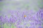 Обои Желтая бабочка сидит на цветке лаванды