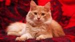 Обои Пушистая рыжая кошка на фоне красного покрывала