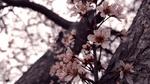 Обои Цветущая ветка вишни