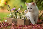 Обои Белый котенок смотрит на деревянный ящик с цветами (petites fleurs / маленькие цветы)