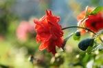 Обои Красная роза в каплях воды от дождя