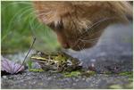Обои Кошка рассматривает лягушку