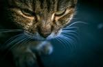 Обои Мордочка кошки крупным планом