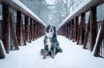 Обои Пес сидит на снежном мосту под снегопадом, фотограф Rob MIkulec