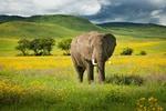 Обои Слон в полевых цветах, Танзания, фотограф Кирилл Трубицын