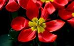 Обои Раскрывшийся красный тюльпан