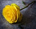 Обои Желтая роза на асфальте