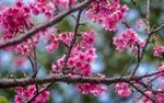 Обои Весенние цветы сакуры