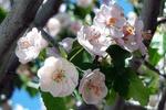 Обои Весенние цветы вишни