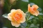 Обои Две розы на размытом фоне