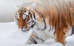 Обои Амурский тигр на снегу