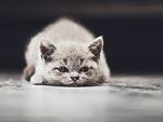 Обои Британская короткошерстная кошка