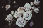 Обои Кусты роз, by IrinaJoanne