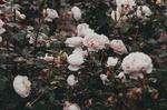 Обои Кусты бледно розовых роз, by IrinaJoanne