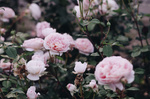 Обои Кусты розовых роз, by IrinaJoanne