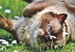 Обои Кошка лежит на траве с ромашками