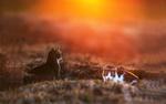 Обои Два котика в поле в свете красного солнца, фотограф Arek Kikulski