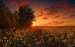 Обои Деревья у поля с желтыми цветами под рассветным небом, фотограф Vlad Observer
