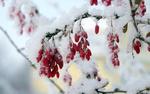 Обои Ветка барбариса с красными ягодами, укрытая снегом, фотограф Alexandr Strokov